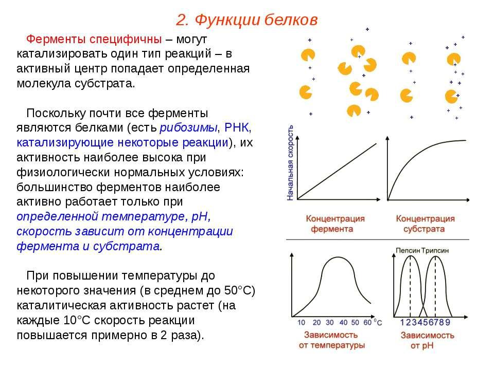 Ферменты специфичны – могут катализировать один тип реакций – в активный цент...