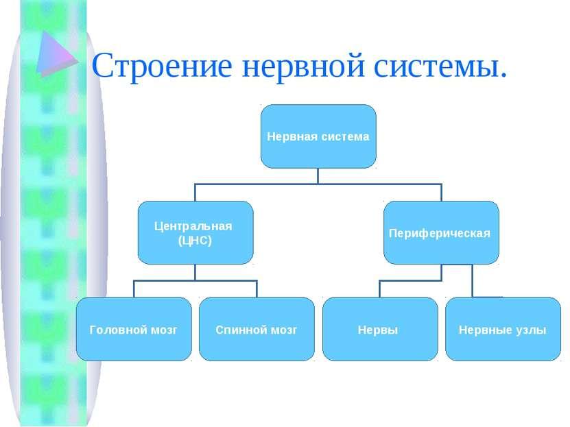 Строение нервной системы.