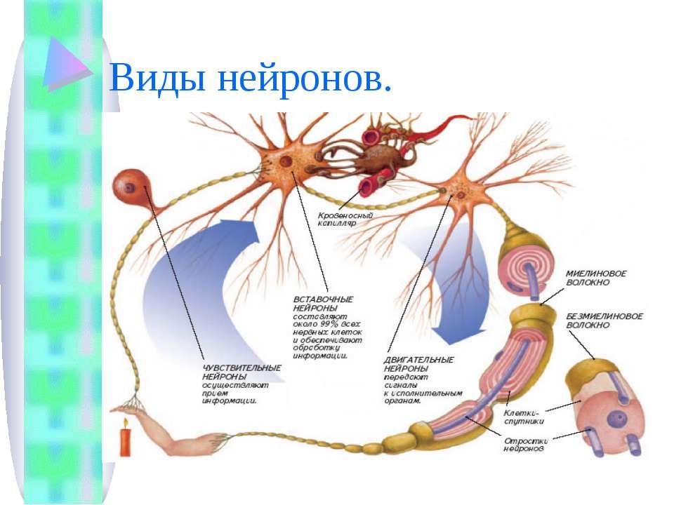 Виды нейронов.