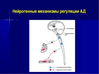 Нейрогенные механизмы регуляции АД
