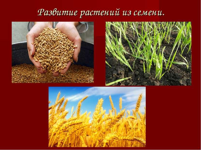 Развитие растений из семени.