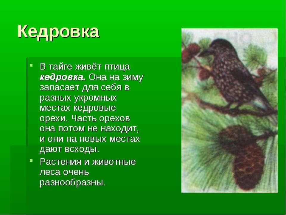 Кедровка В тайге живёт птица кедровка. Она на зиму запасает для себя в разных...