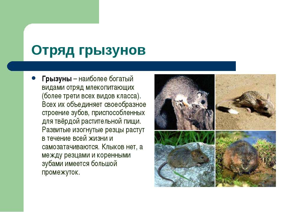 Отряд грызунов Грызуны – наиболее богатый видами отряд млекопитающих (более т...
