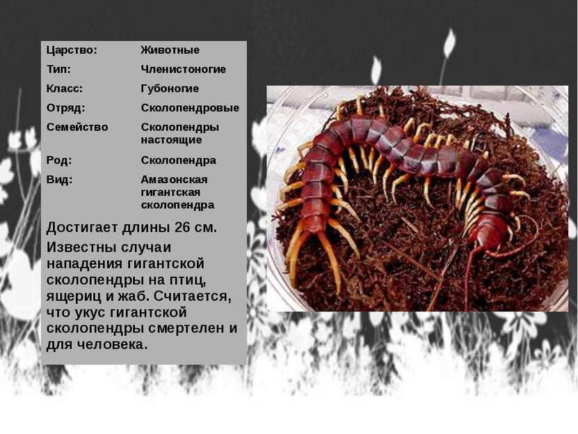 Царство: Животные Тип: Членистоногие Класс: Губоногие Отряд: Сколопендровые С...
