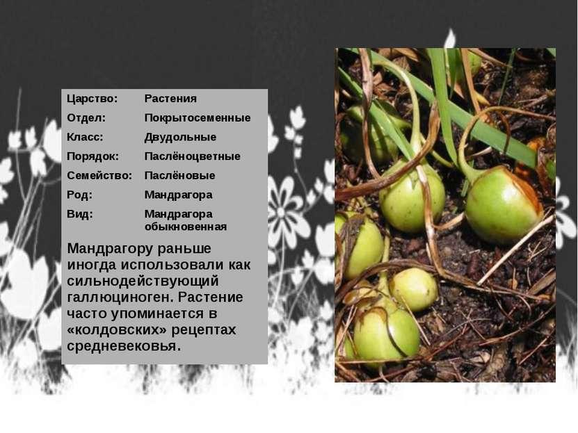 Царство: Растения Отдел: Покрытосеменные Класс: Двудольные Порядок: Паслёноцв...