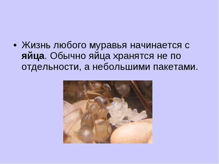Жизнь любого муравья начинается с яйца. Обычно яйца хранятся не по отдельност...