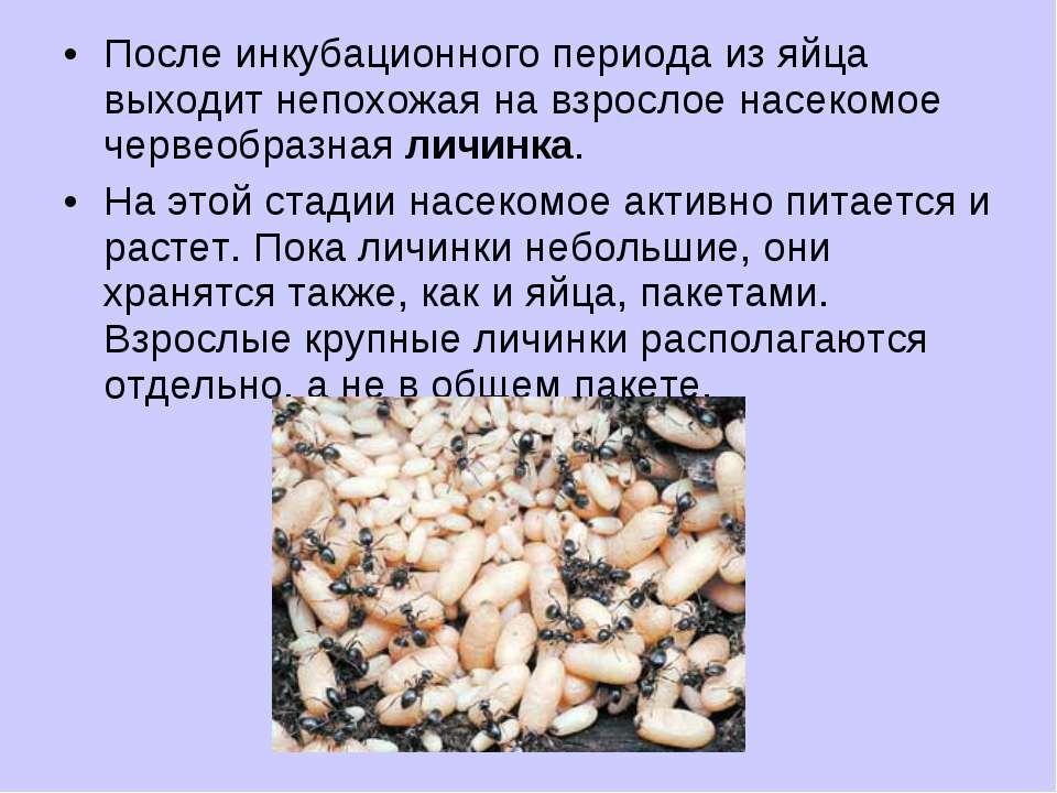 После инкубационного периода из яйца выходит непохожая на взрослое насекомое ...