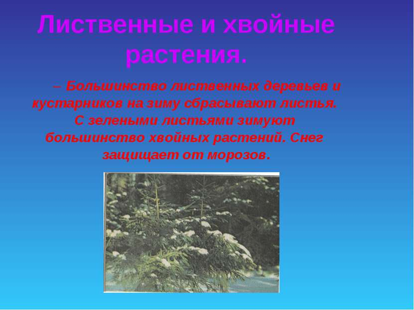 Большинство лиственных деревьев и кустарников на зиму сбрасывают листья. С зе...