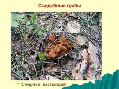 Съедобные грибы Сморчок настоящий