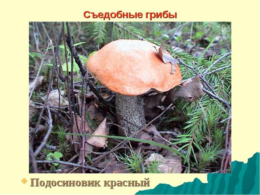 Съедобные грибы Подосиновик красный