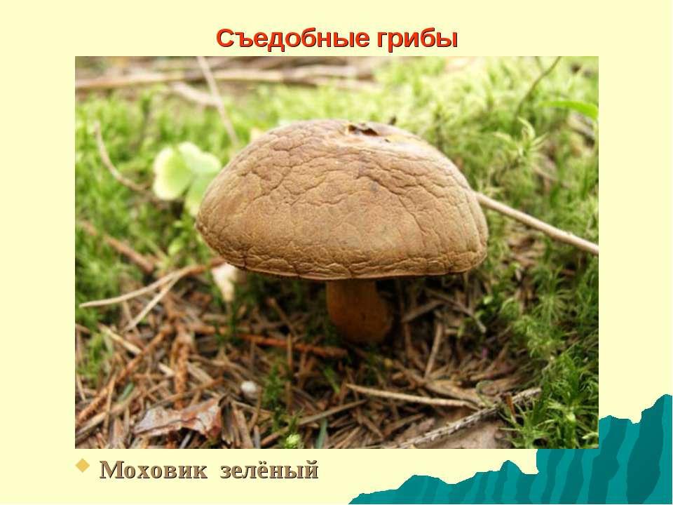Съедобные грибы Моховик зелёный