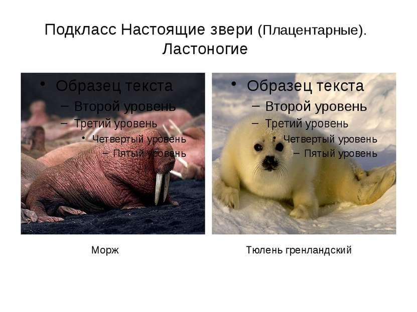 Подкласс Настоящие звери (Плацентарные). Ластоногие Тюлень гренландский Морж