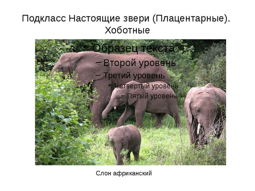 Подкласс Настоящие звери (Плацентарные). Хоботные Слон африканский