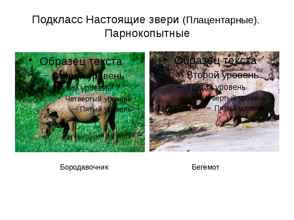 Подкласс Настоящие звери (Плацентарные). Парнокопытные Бородавочник Бегемот