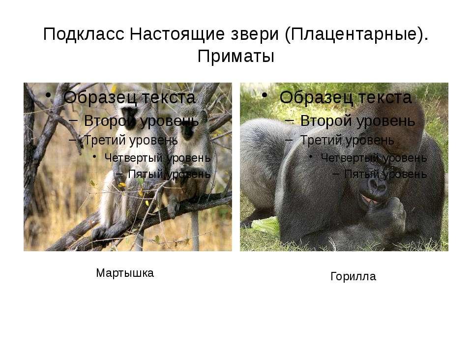 Подкласс Настоящие звери (Плацентарные). Приматы Мартышка Горилла