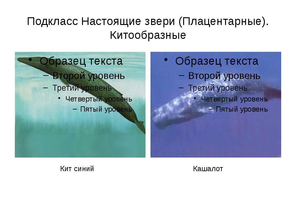 Подкласс Настоящие звери (Плацентарные). Китообразные Кашалот Кит синий