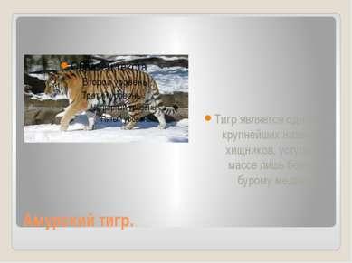 Амурский тигр. Тигр является одним из крупнейших наземных хищников, уступая п...