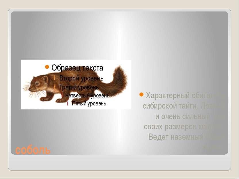 соболь Характерный обитатель сибирской тайги. Ловкий и очень сильный для свои...
