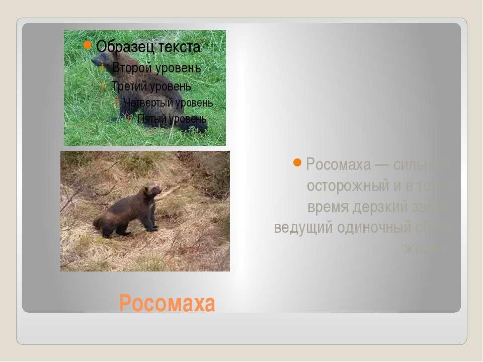Росомаха Росомаха — сильный, осторожный и в то же время дерзкий зверь, ведущи...