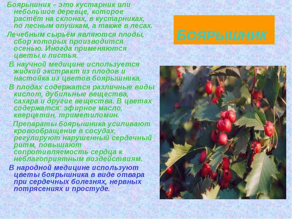 БОЯРЫШНИК Боярышник – это кустарник или небольшое деревце, которое растёт на ...
