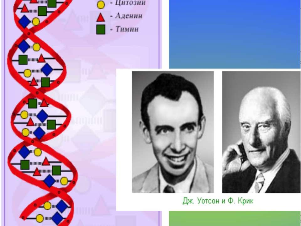 1953 г. – создание модели ДНК Модель ДНК
