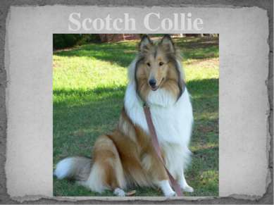 Scotch Collie