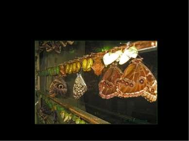 Выход бабочки из кокона
