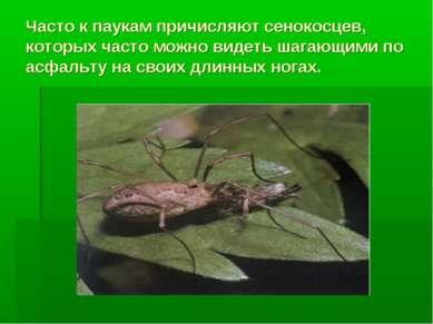 Часто к паукам причисляют сенокосцев, которых часто можно видеть шагающими по...