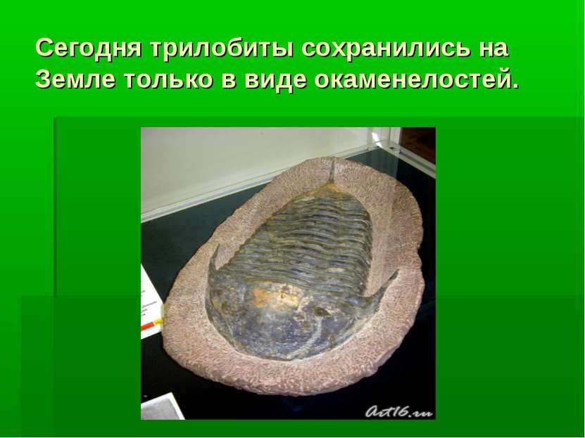 Сегодня трилобиты сохранились на Земле только в виде окаменелостей.