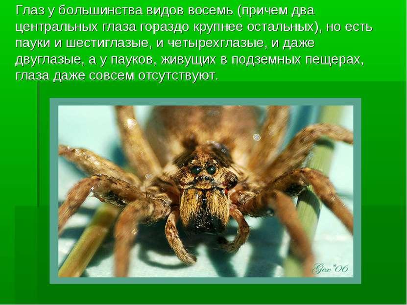 Глаз у большинства видов восемь (причем два центральных глаза гораздо крупнее...