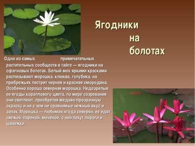 Ягодники на болотах Одно из самых примечательных растительных сообществ в тай...
