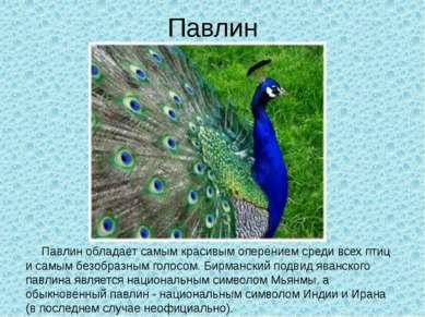 Павлин Павлин обладает самым красивым оперением среди всех птиц и самым безоб...