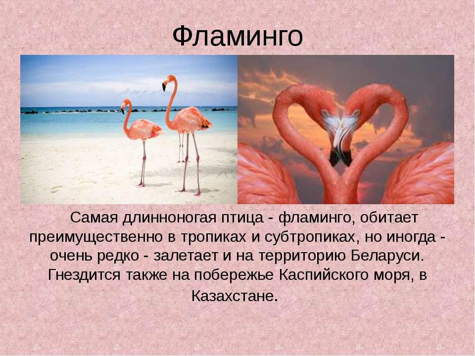 Фламинго Самая длинноногая птица - фламинго, обитает преимущественно в тропик...