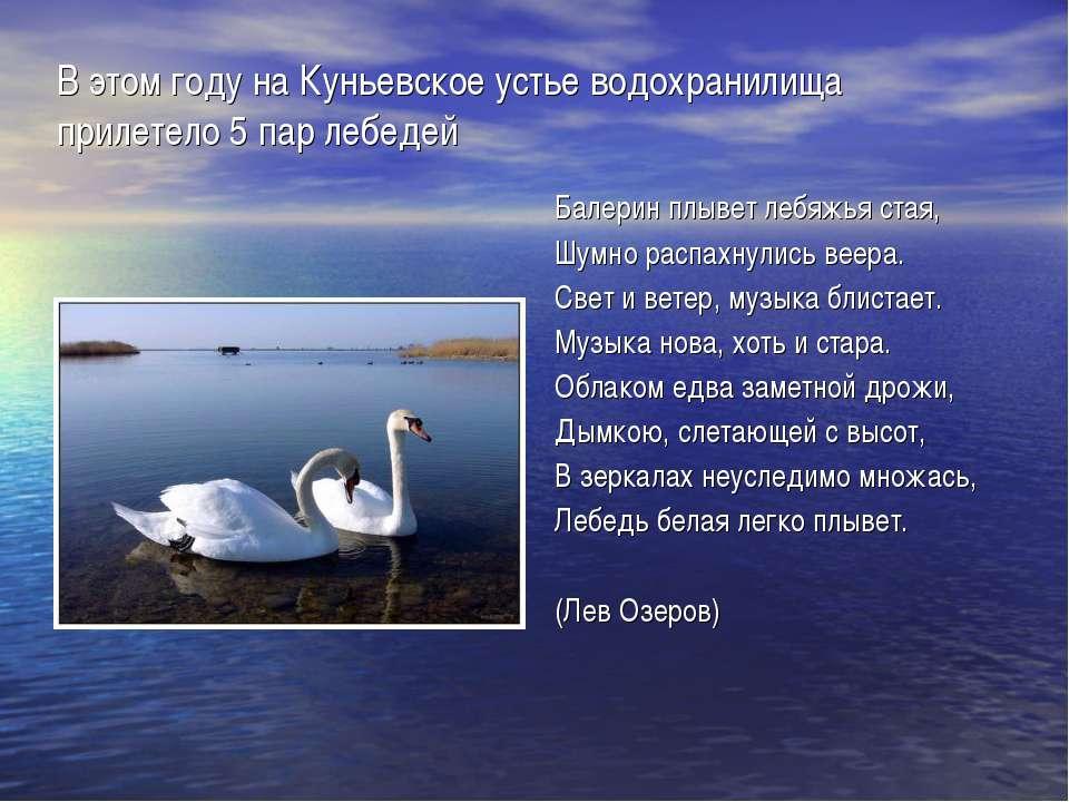 В этом году на Куньевское устье водохранилища прилетело 5 пар лебедей Балерин...