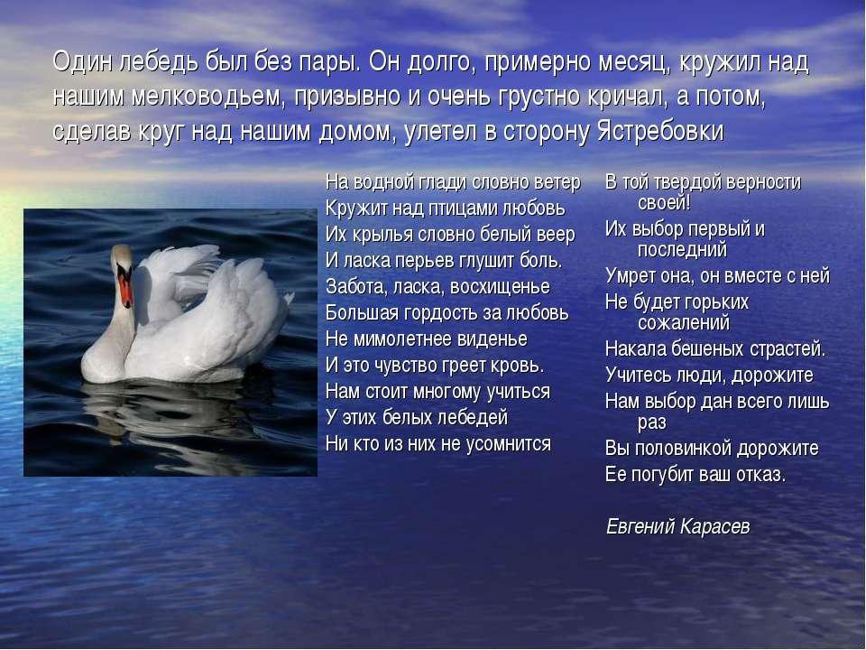 Один лебедь был без пары. Он долго, примерно месяц, кружил над нашим мелковод...