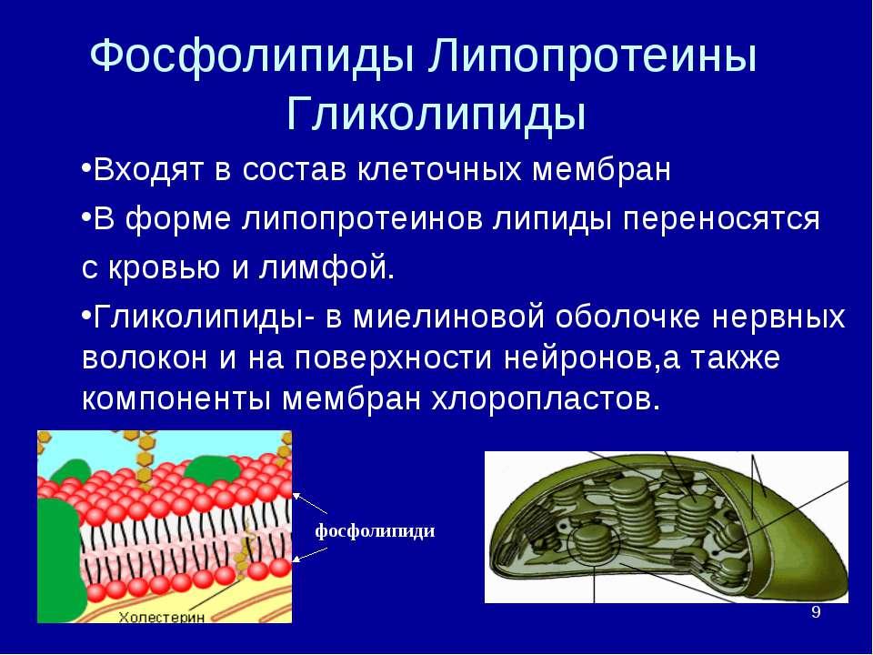 * Фосфолипиды Липопротеины Гликолипиды Входят в состав клеточных мембран В фо...