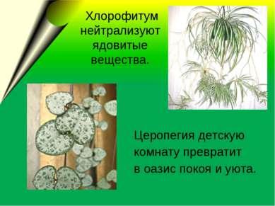 Хлорофитум нейтрализуют ядовитые вещества. Церопегия детскую комнату преврати...