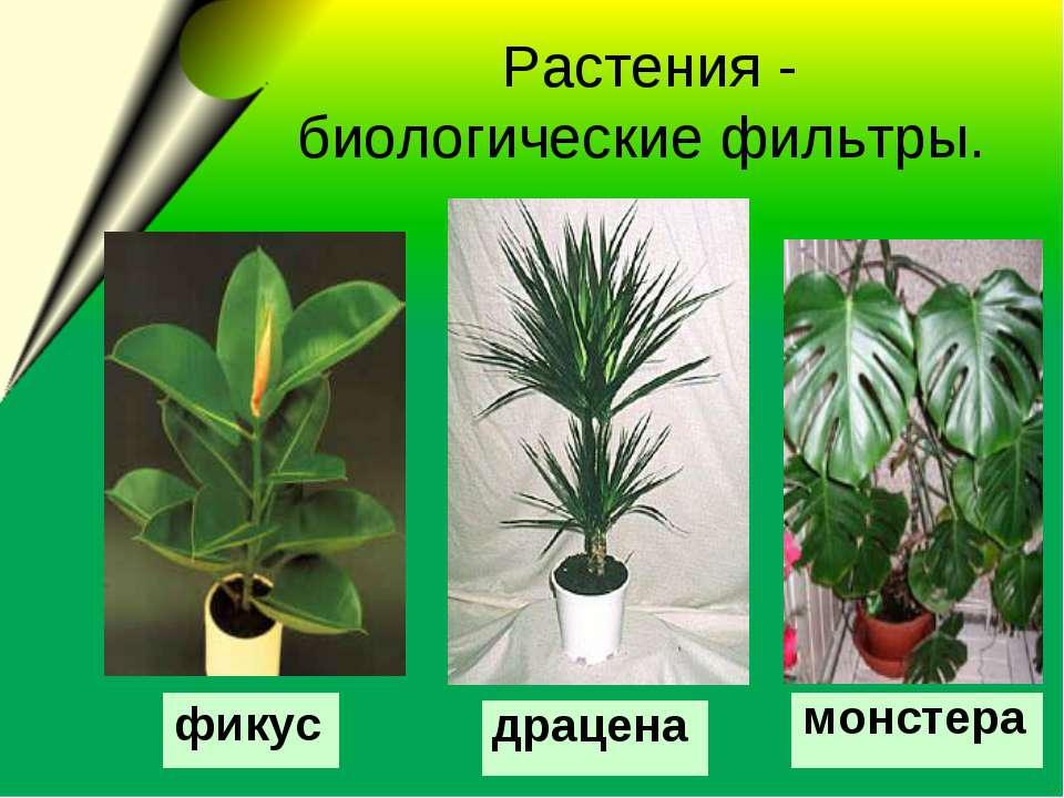 Растения - биологические фильтры. драцена монстера фикус