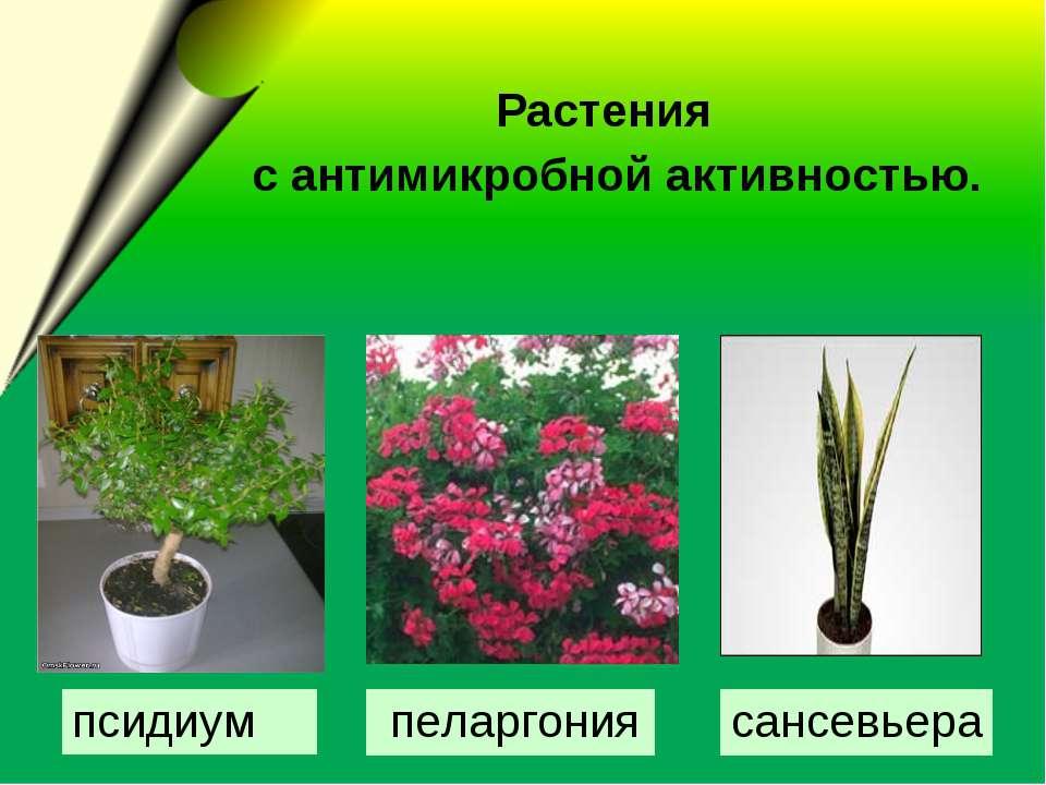 Растения с антимикробной активностью. сансевьера пеларгония псидиум
