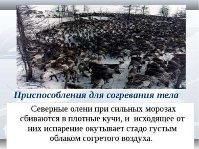 Приспособления для согревания тела Северные олени при сильных морозах сбивают...