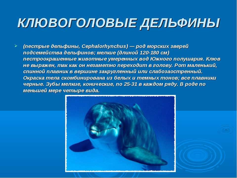 КЛЮВОГОЛОВЫЕ ДЕЛЬФИНЫ (пестрые дельфины, Серhalorhynchus) — род морских звере...