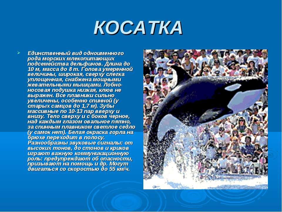 КОСАТКА Единственный вид одноименного рода морских млекопитающих подсемейства...