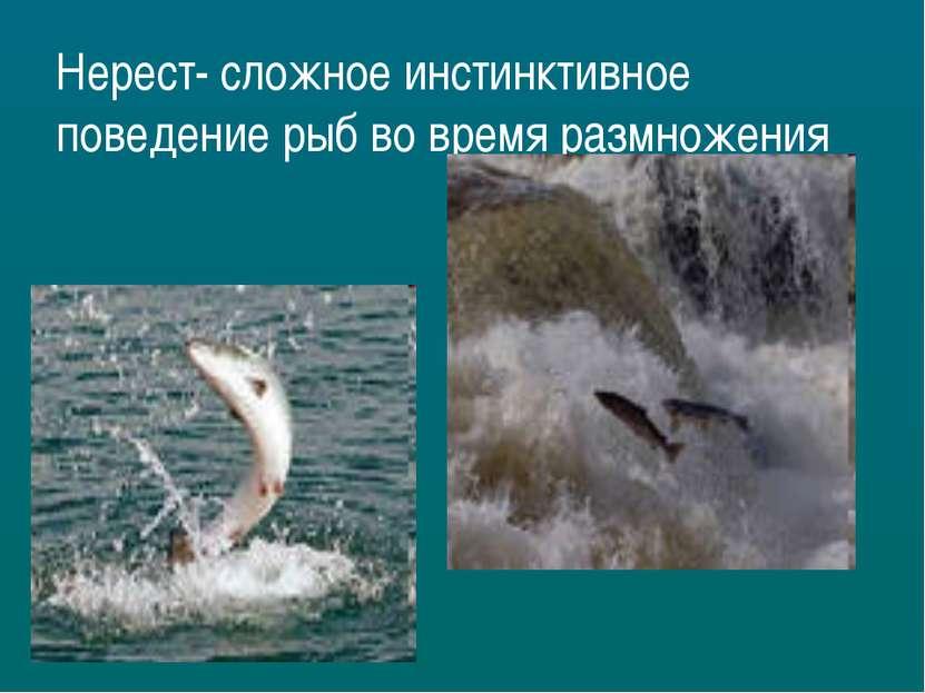 Нерест- сложное инстинктивное поведение рыб во время размножения