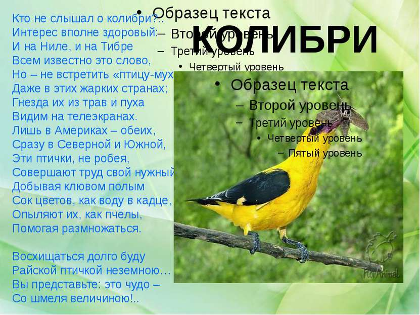 КОЛИБРИ Кто не слышал о колибри?.. Интерес вполне здоровый: И на Ниле, и на Т...