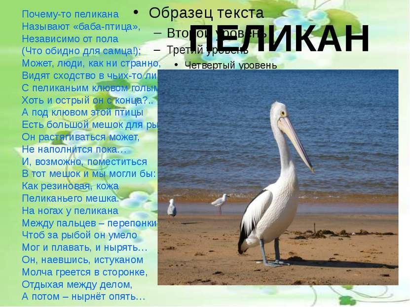 ПЕЛИКАН Почему-то пеликана Называют «баба-птица», Независимо от пола (Что оби...