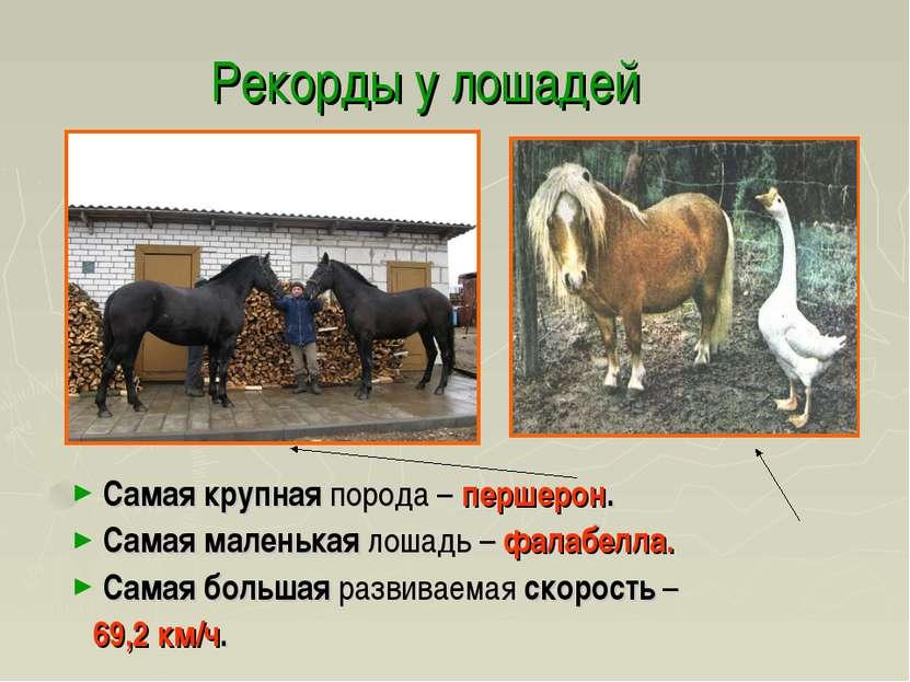 Рекорды у лошадей Самая крупная порода – першерон. Самая маленькая лошадь – ф...