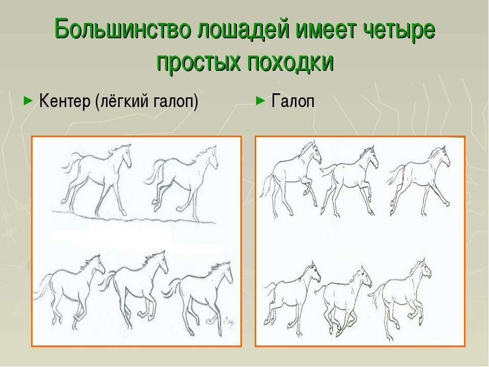 Большинство лошадей имеет четыре простых походки Кентер (лёгкий галоп) Галоп