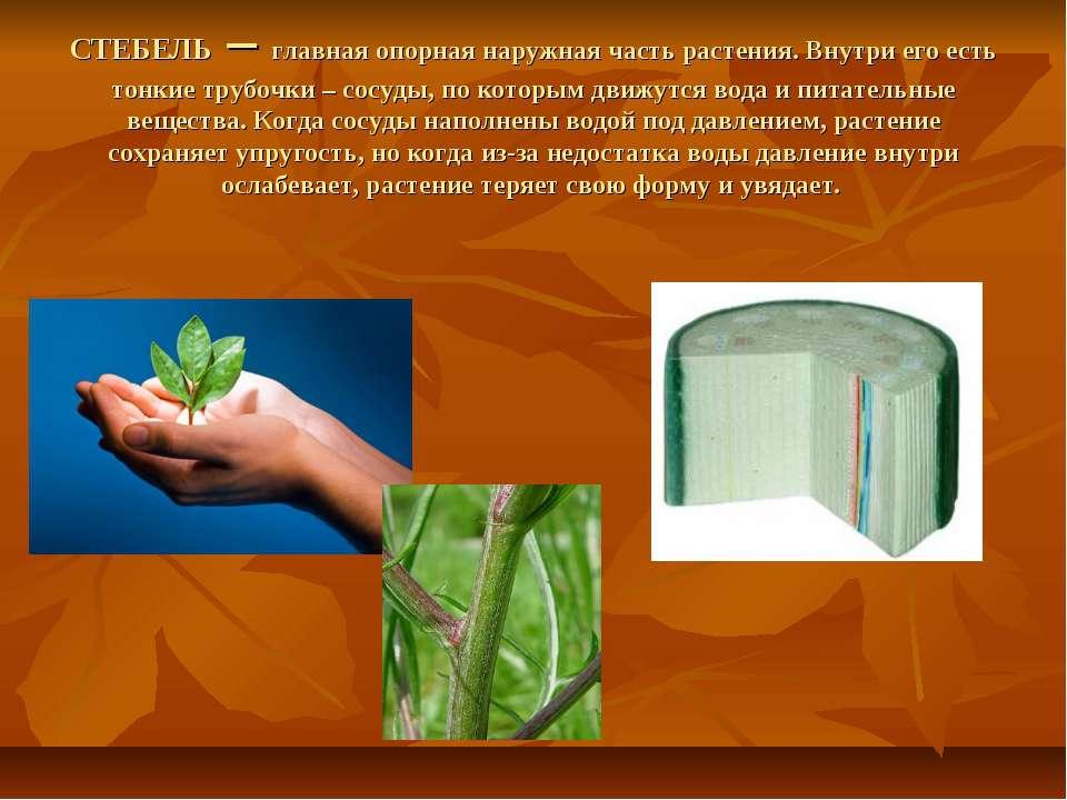 СТЕБЕЛЬ – главная опорная наружная часть растения. Внутри его есть тонкие тру...