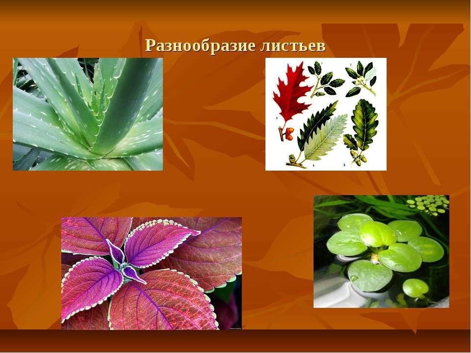Разнообразие листьев