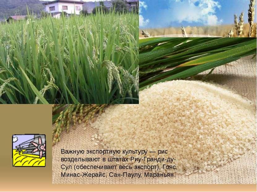 Важную экспортную культуру — рис возделывают в штатах Риу-Гранди-ду-Сул (обес...